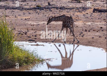 A drinking Giraffe - Giraffa Camelopardalis- near a waterhole in Etosha National Park, Namibia. - Stock Photo