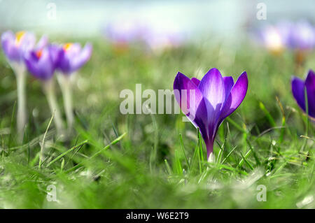 Purple crocus close-up. First spring flowers. Easter greeting card. - Stock Photo