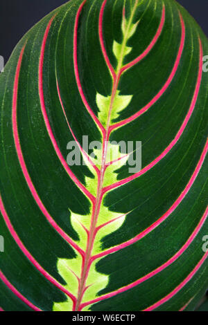 Close up of strikingly marked tropical 'Maranta Leuconeura Fascinator Prayer Plant' leaf with red veins - Stock Photo