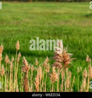 Square frame Close up view of sunlit brown grasses and vivid green field on a sunny day - Stock Photo