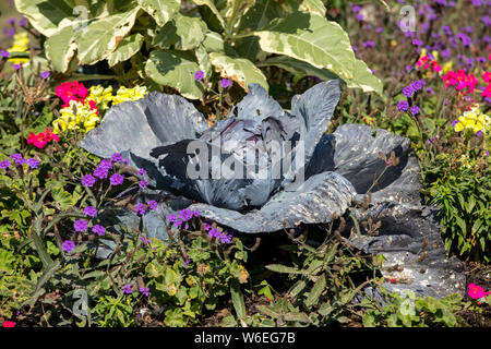 Floristic composition of red cabbage and flowers in Saint Malo. Brittany, France - Stock Photo