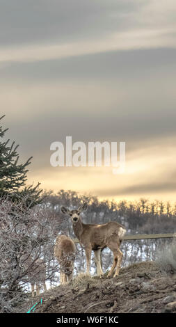 Vertical Gray deers in the wilderness with a shiny lake and cloudy sky in the background - Stock Photo