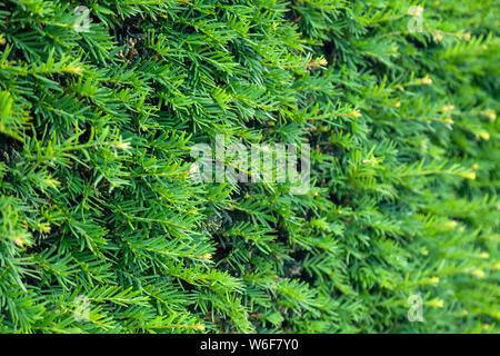 Closeup fresh green christmas leaves, branches of thuja trees on green background. Thuya twig occidentalis, evergreen coniferous tree. Chinese thuja. - Stock Photo