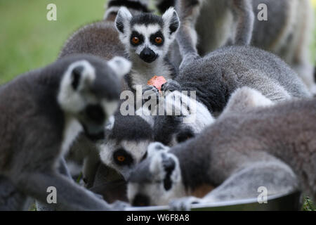 Hefei, China's Anhui Province. 1st Aug, 2019. Ring-tailed lemurs eat fruits at the Hefei Wildlife Park in Hefei, east China's Anhui Province, Aug. 1, 2019. The wildlife park has taken various actions to help animals cool off in the scorching weather. Credit: Zhang Duan/Xinhua/Alamy Live News - Stock Photo