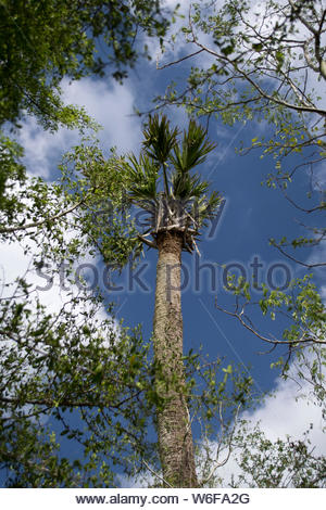 Palm Tree in the Sky. Palm Tree against blue sky with white puffy clouds. Sabal Palm Sanctuary, Brownsville, Texas USA. Rio Grande Valley Region TX US - Stock Photo