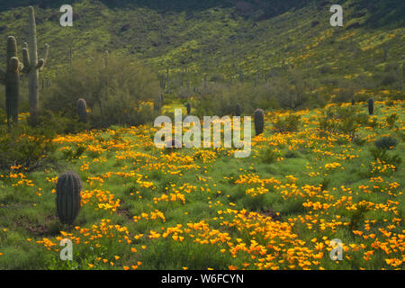 Winter El Nino rains create a Super Spring Bloom of Mexican poppies in southern Arizona's Picacho Peak State Park. - Stock Photo