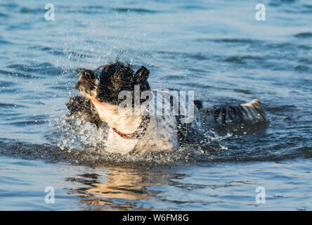 A dog shaking itself dry in the sea. - Stock Photo