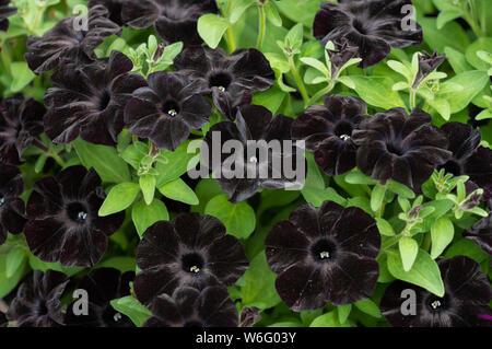 Petunia x hybrida. Petunia 'Black Velvet' flowers - Stock Photo