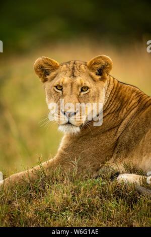 Close-up of lioness (Panthera leo) in grass watching camera, Serengeti National Park; Tanzania