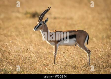 Thomson's gazelle (Eudorcas thomsonii) stands in profile in grass, Serengeti; Tanzania - Stock Photo