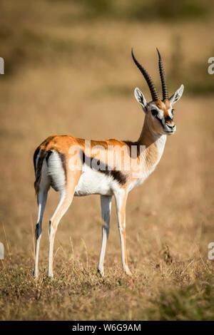 Thomson's gazelle (Eudorcas thomsonii) stands on grass turning head, Serengeti; Tanzania - Stock Photo