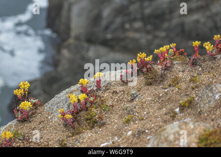 Dudleya Farinosa succulents growing wild on a coastal cliff in Northern California. - Stock Photo