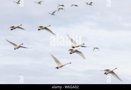 A group of Tundra Swan Cygnus columbianus in flight over the Pungo Unit of Pocosin Lakes National Wildlife Refuge in North Carolina. - Stock Photo