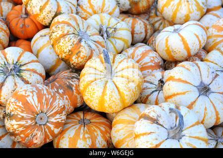 mini pumpkins at market place - Stock Photo
