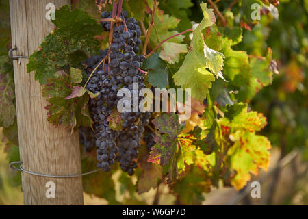 Cluster of Red Wine Grapes. Ripe bunches of red grapes hang on the vine in a vineyard ready to be harvested. Okanagan Valley near Osoyoos, British Col - Stock Photo