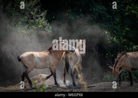 Wild horses moving around on dusty ground, three Przewalski horses, also known as Mongolian ponies - Stock Photo