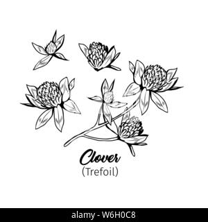 Clover blossom black ink sketches set. Wildflower twig, flowers and buds black and white illustrations collection. Honey plant monochrome botanical en - Stock Photo