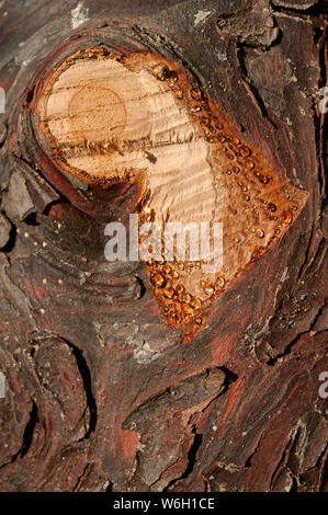 Resin droplets exude from a pine bark. Close up. - Stock Photo