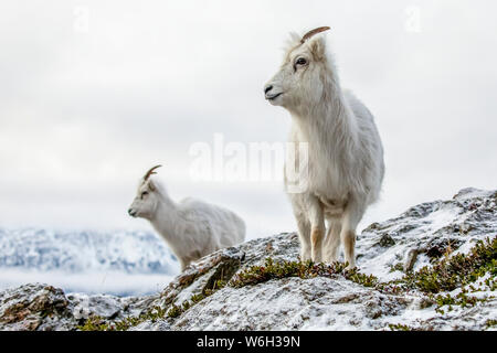 Dall sheep ewes (Ovis dalli) on the rocky hillside overlooking Turnagain Arm and near the Seward Highway at MP 107 in the winter with snow - Stock Photo