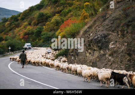 Shepherd is herding herd of sheep along Georgian military road, Zhinvali village, Mtskheta-Mtianeti, Georgia - Stock Photo