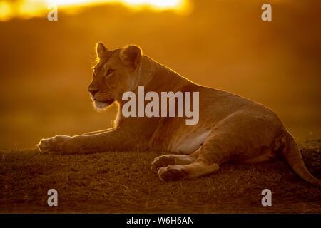 Backlit lioness (Panthera Leo) lies facing left at sunset, Serengeti National Park; Tanzania