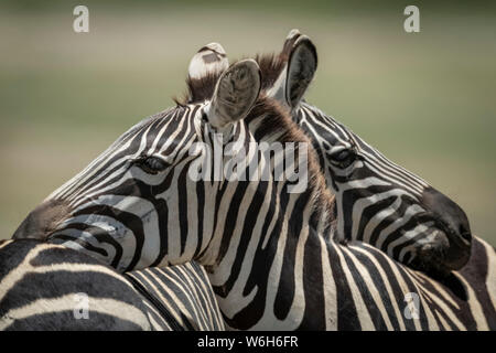 Close-up of Plains zebra (Equus quagga) resting on another, Serengeti National Park; Tanzania - Stock Photo