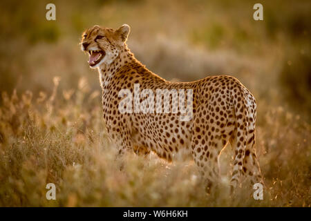 Female cheetah (Acinonyx jubatus) stands in grass calling cubs, Serengeti National Park; Tanzania