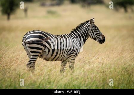 Plains zebra (Equus quagga) stands facing right in grass, Serengeti National Park; Tanzania - Stock Photo