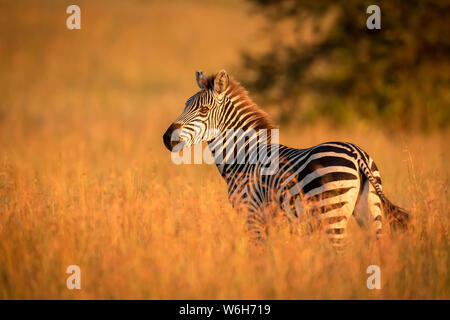Plains zebra (Equus quagga) stands in grass watching camera, Serengeti National Park; Tanzania - Stock Photo