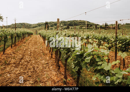 Close-up of rows of grapevines growing on a vineyard; Italy - Stock Photo