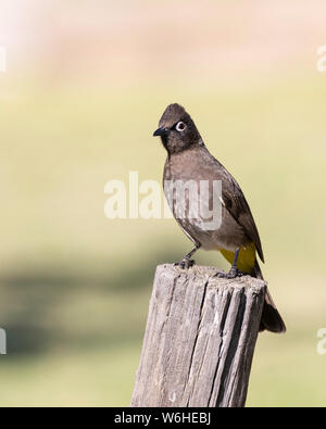 Cape Bulbul (Pycnonotus capensis) perched on pole, Robertson, Western Cape, South Africa in autumn. - Stock Photo