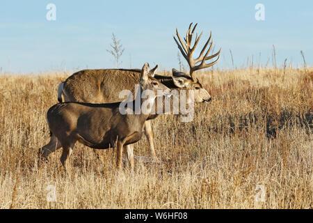 Mule deer (Odocoileus hemionus) buck and doe walking together through grass field; Denver, Colorado, United States of America - Stock Photo