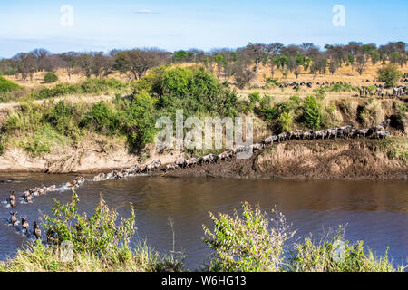 Herd of Wildebeest (Connochaetes taurinus) crossing the Mara River and climbing out on the far bank in Serengeti National Park; Tanzania