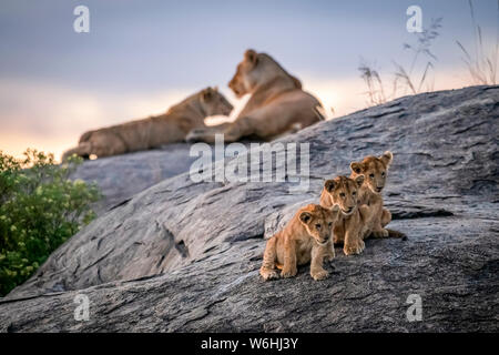Three lion cubs (Panthera leo) sitting on a rock looking out with two lionesses in the background at dusk, Serengeti; Tanzania
