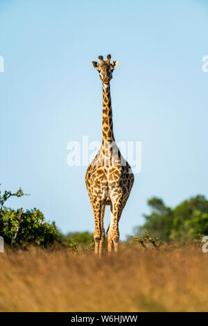 Masai giraffe (Giraffa camelopardalis tippelskirchii) stands facing camera on horizon, Serengeti; Tanzania - Stock Photo