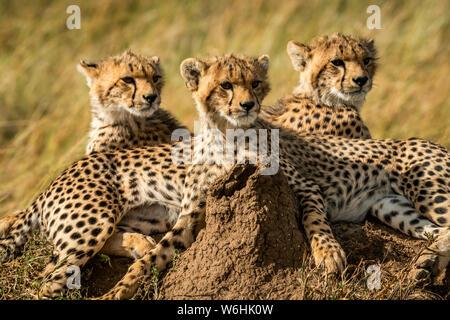 Close-up of three cheetah cubs (Acinonyx jubatus) lying together, Serengeti; Tanzania