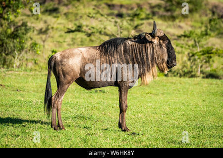 Blue wildebeest (Connochaetes taurinus) stands in profile on grass, Serengeti; Tanzania - Stock Photo