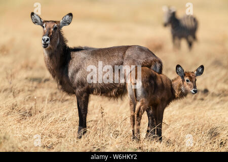 Mother and baby waterbuck (Kobus ellipsiprymnus) with zebra (Equus quagga) behind, Serengeti; Tanzania - Stock Photo