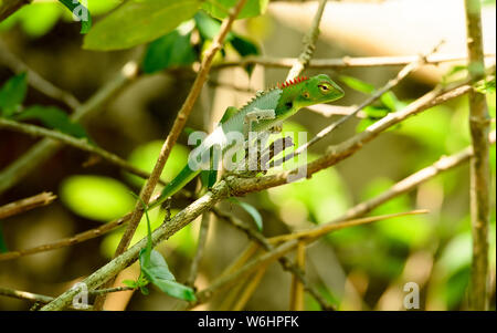Calotes calotes (common green forest lizard) is an agamid lizard found in the forests of the India, and Sri Lanka. - Stock Photo