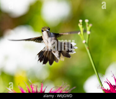 An immature male ruby throated hummingbird hovering over some bee balm flowers in a garden in Speculator, NY USA - Stock Photo