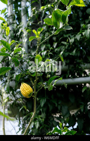 Citrus medica var. sarcodactylis, or the fingered citron, is an unusually shaped citron variety whose fruit is segmented into finger-like sections, re - Stock Photo