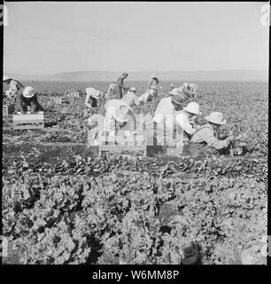 Tule Lake Relocation Center, Newell, California. Harvesting spinach. - Stock Photo