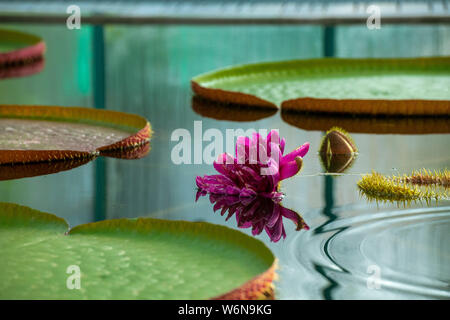 Liberec, Czech Republic. 02nd Aug, 2019. A blossom of Water Lily Victoria amazonica in the Botanic Gardens in Liberec on Friday, August 2, 2019. The plant is the largest species of water lilies. Its blossoms are white the first night, then become pink and fade after two days. Credit: Radek Petrasek/CTK Photo/Alamy Live News - Stock Photo