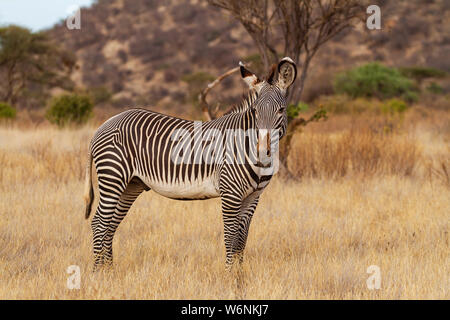 Grevy's zebra Grevy's Equus grevyi with black and white stripes. Samburu Reserve Kenya East Africa endangered species in dusty dry yellow scrub - Stock Photo