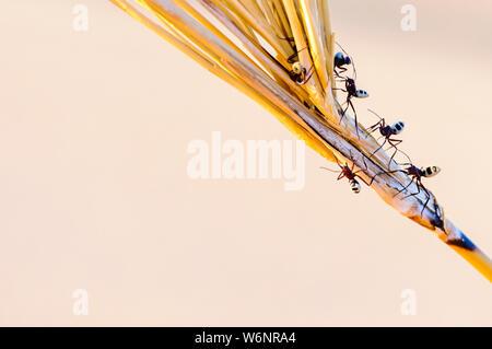 Namib Desert dune ant (Camponotus detritus), distinguishable by its hairy abdomen with black and white symmetrical shapes.  Namib Desert, Namibia - Stock Photo