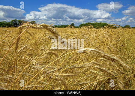 Corn field at village Angeln, Firth of Flensburg, Schleswig-Holstein, Germany - Stock Photo