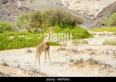 Desert-adapted giraffe (Giraffa camelopardalis) standing in dried river bed, Hoanib desert, Kaokoland, Namibia - Stock Photo