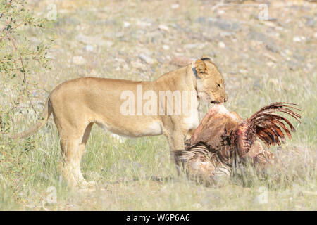 Desert Lion (Panthera leo) pulling  carcass to hide, Hoanib dry river, Kaokoveld,  Namibia. - Stock Photo