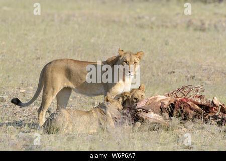 Desert Lion (Panthera leo) mother with cubs feeding on carcass, Hoanib dry river, Kaokoveld,  Namibia. - Stock Photo