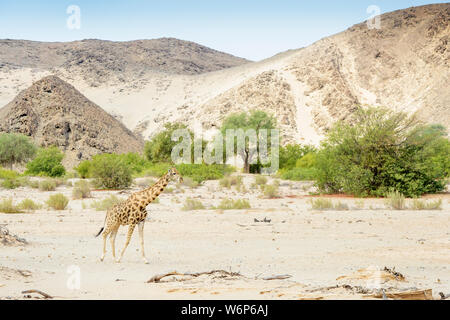 Desert-adapted giraffe (Giraffa camelopardalis) walking in landscape and dried river bed, Hoanib desert, Kaokoland, Namibia - Stock Photo